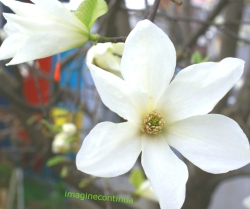 Flori de magnolie