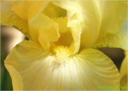Iris( Stanjenel)