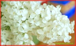 Flori de liliac alb