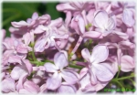 Flori de liliac mov