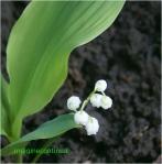 Flori de lacramioara ( margaritar)