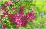 Flori de salcam rosu