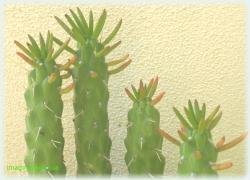 familie de cactusi