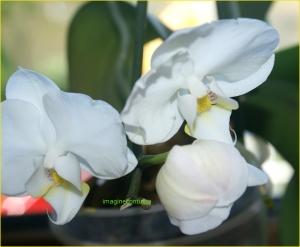 Flori de orhidee
