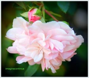 Dilema trandafirilor