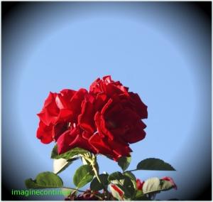 trandafir de primavara