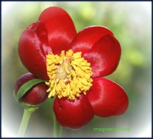 Bujor romanesc( Paeinia peregrina var. romanica)