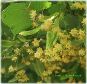 Flori de tei