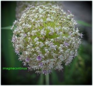 inflorescenta de allium