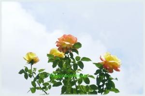 Buchet de trandafiri 2