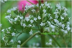 Flori de valeriana
