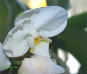 Orhidee alba