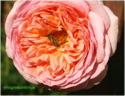 trandafir ospitalier