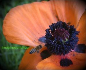 zbor deasupra unei flori de mac